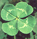 animated-four-leaf-clover-image-0021