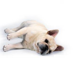 animated-french-bulldog-image-0002