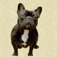 animated-french-bulldog-image-0003