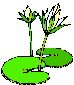 animated-water-lily-image-0007