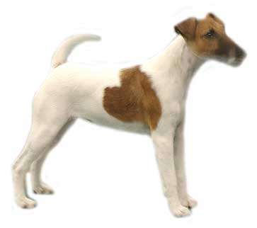 animated-jack-russell-terrier-image-0007
